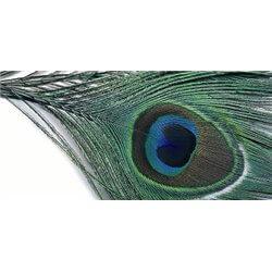 Påfågel hel ögonfjäder